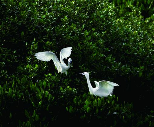 红树林公园白鹭嬉戏